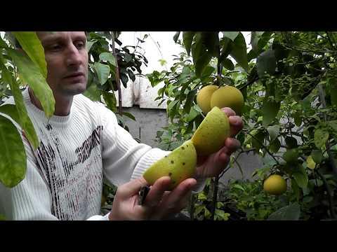 Как растет памела фрукт