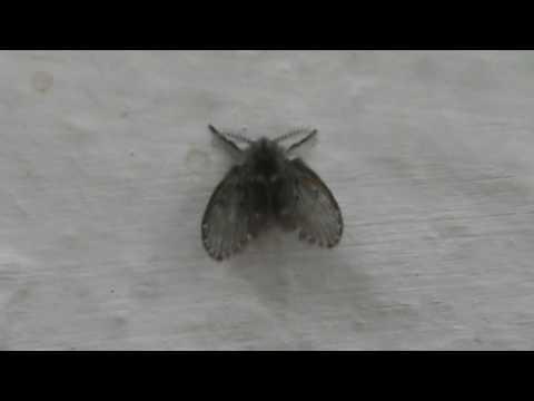 Drain fly Drain flies, sink flies, moth flies, or sewer ...
