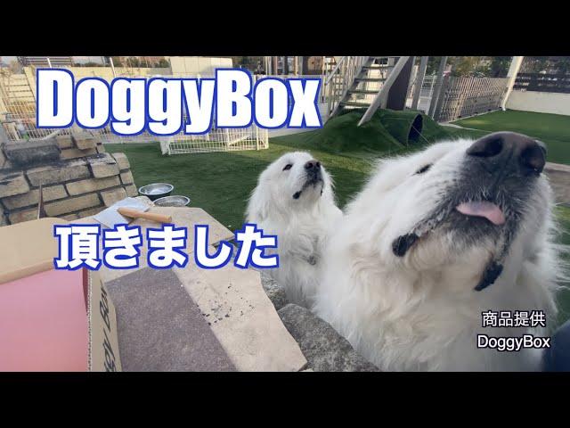 Doggy Box様よりいただきました。グレートピレニーズ
