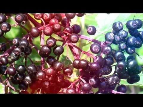 БУЗИНА ЯГОДА ПОЛЬЗА | бузина полезные свойства, ягоды бузины черной от рака