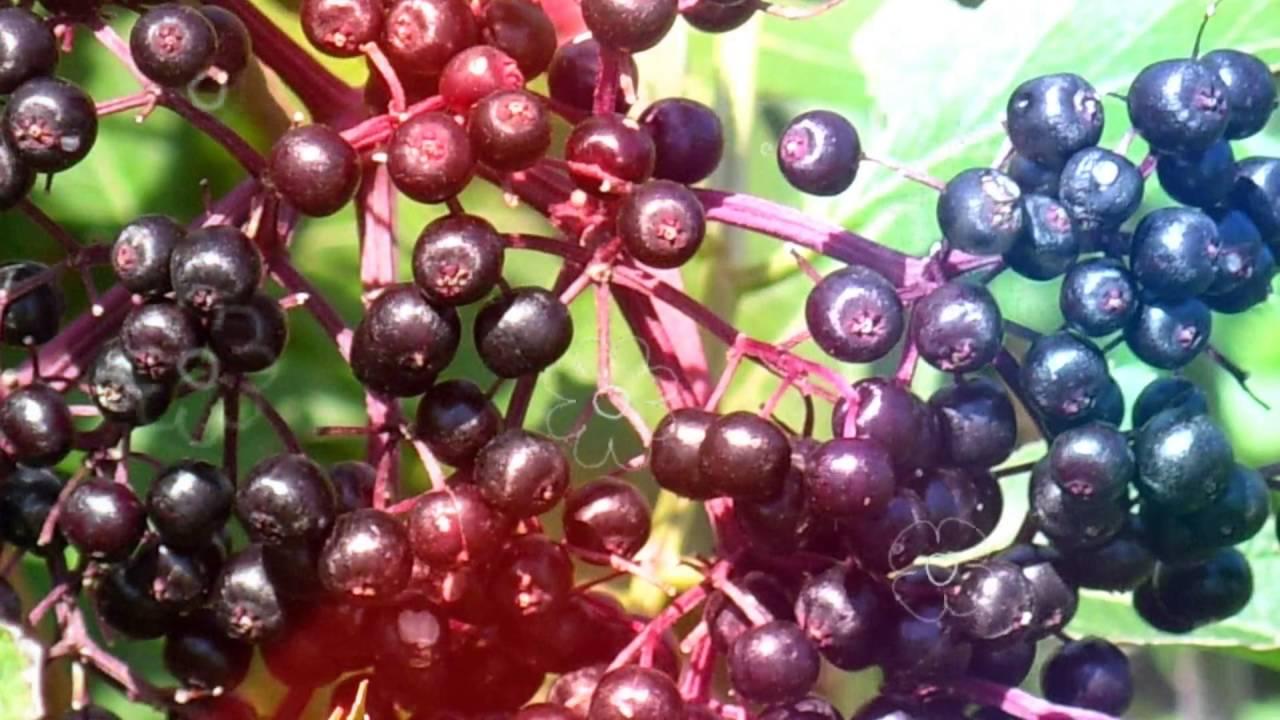 Маски для лица ручной работы. Ярмарка мастеров ручная работа. Купить ягоды бузины чёрной сушёные. Handmade. Лечебные, для похудения.