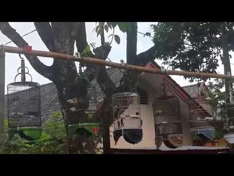 Suara Lomba Pleci Lombok bikin pleci atau kecial makin ngacor