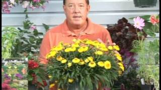 Growing Flowering Plants : Growing Daisy Flowers