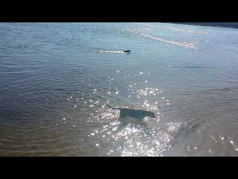 Flatcoated Retriever Swimming - Cobrador de pelo liso nadando.