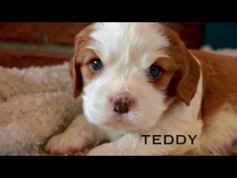 Cute Cavalier King Charles Puppies FOR SALE!