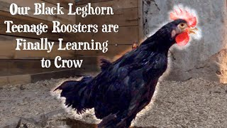Our Black Leghorn Teen Roosters are Finally Learning How to Crow