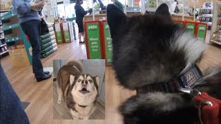 Husky gets told off by Lady for Howling at her in a Shop