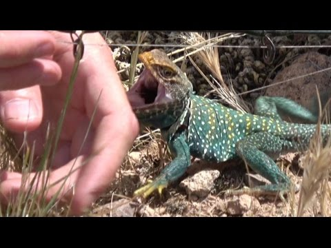 4K Badass Lizard Attacks Me Repeatedly With Velociraptor Speed. Herping Travel Fishing Fun.