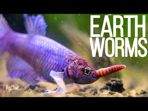 Feeding My Aquarium Fish Earth Worms