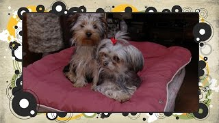 Funniest Yorkshire Terrier Puppies Ever!!!