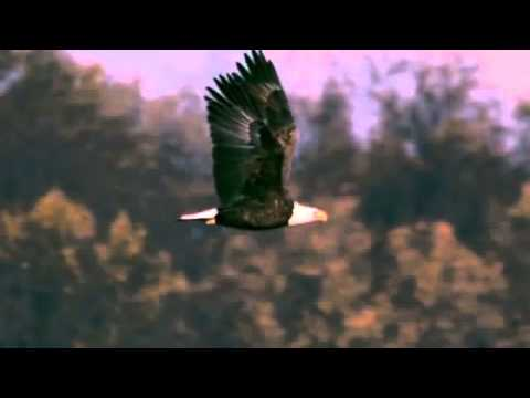 Slow motion reference of a bald eagle flight cycle from a side view