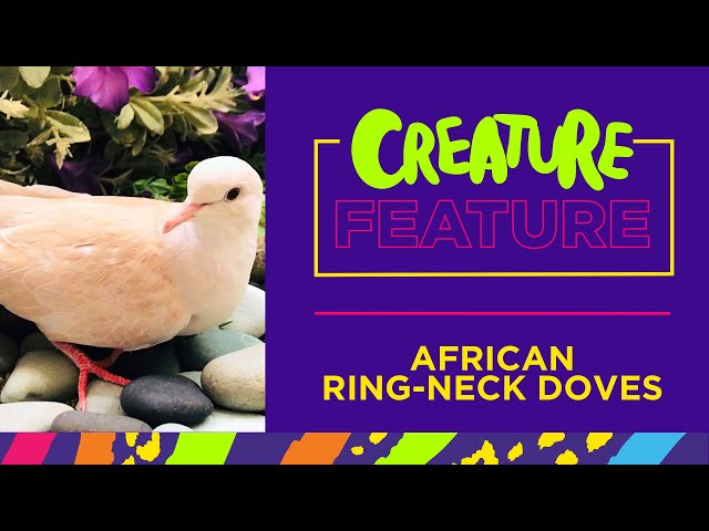 Creature Feature: Featuring our African Ringneck Doves!