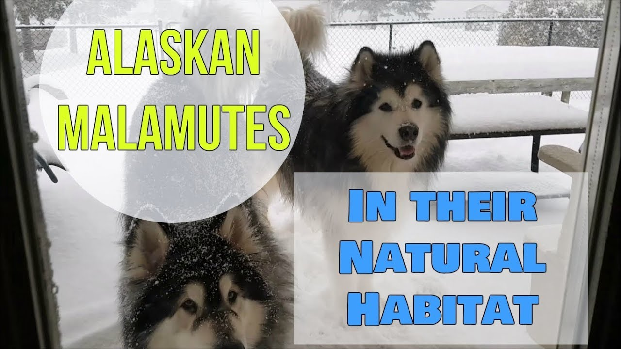 Alaskan Malamutes in their Natural Habitat