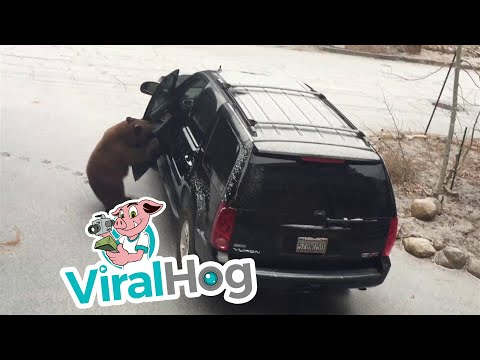 Doc Reno - Bear Locks Himself In An SUV