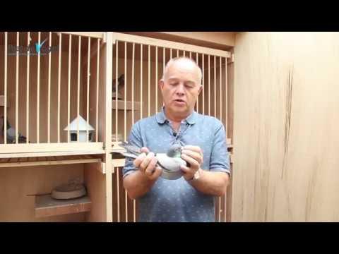 Mister Gijs - Piet De Vogel Pigeons