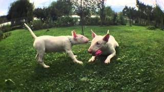Funny English Bull Terriers Playing