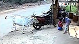 On Camera, Girl Saves 4-Year-Old Brother As Cow Charges At Them thumbnail