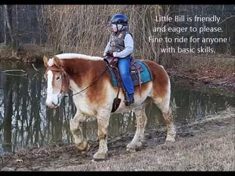 "SOLD ""Little Bill"" 16.1h 16yr Belgium Draft Horse Gelding Rides and Drives"