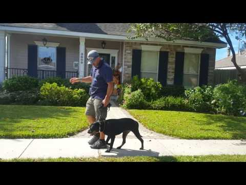 DIY Dog Training: Intro to Prong collar & Structured Walk -Pit mix TYWIN