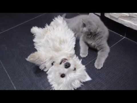 Mój przyjaciel Rusty   West highland white terrier