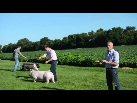 Training your pig for show
