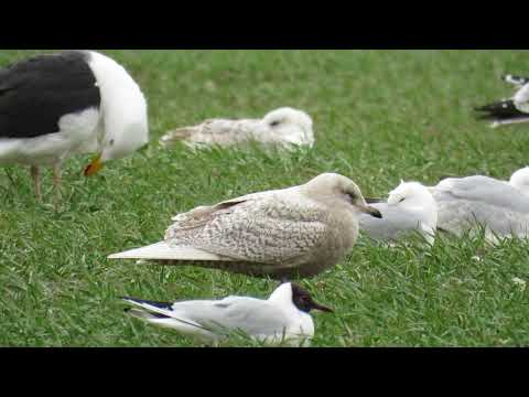 Iceland Gull - Goring Gap