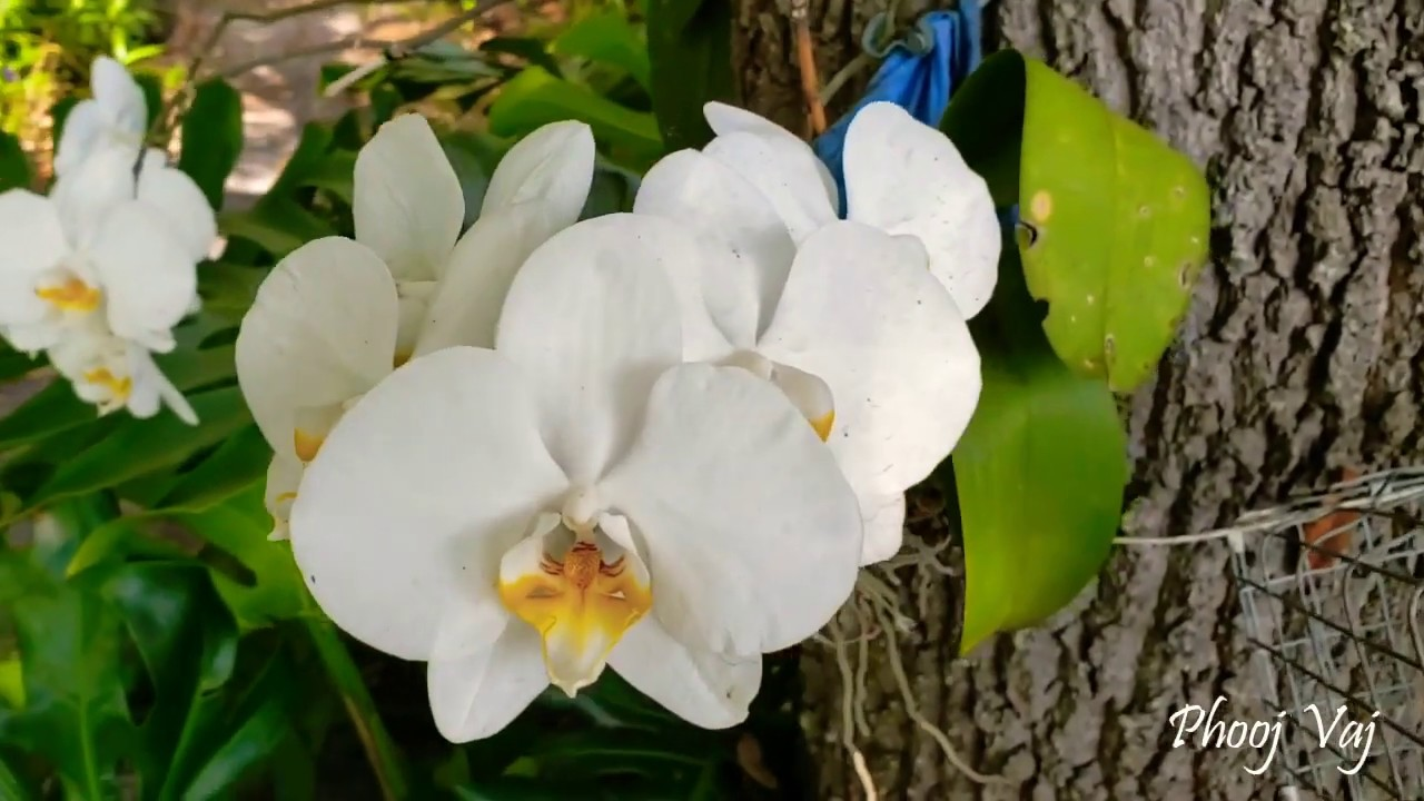 My Orchid - Coming to the End of it's Bloom 5/21/2020