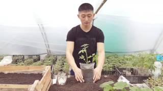Что делаем, чтоб помидор мог простоять 2.5 месяца, до высадки в грунт. Метод перевалки. С праздником