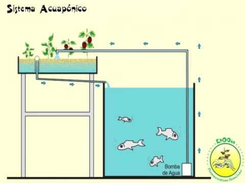 Que es la acuaponia by birika permakultura for Como criar mojarra tilapia en casa