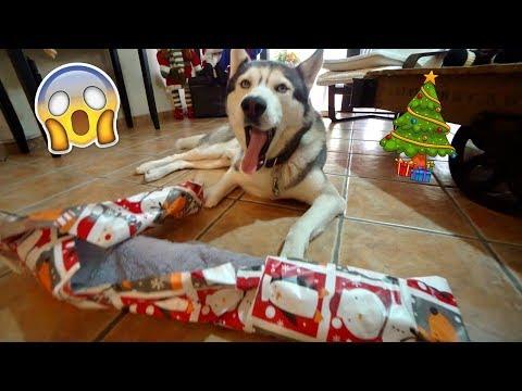 Download Youtube: My Husky Opens His Christmas Gift!