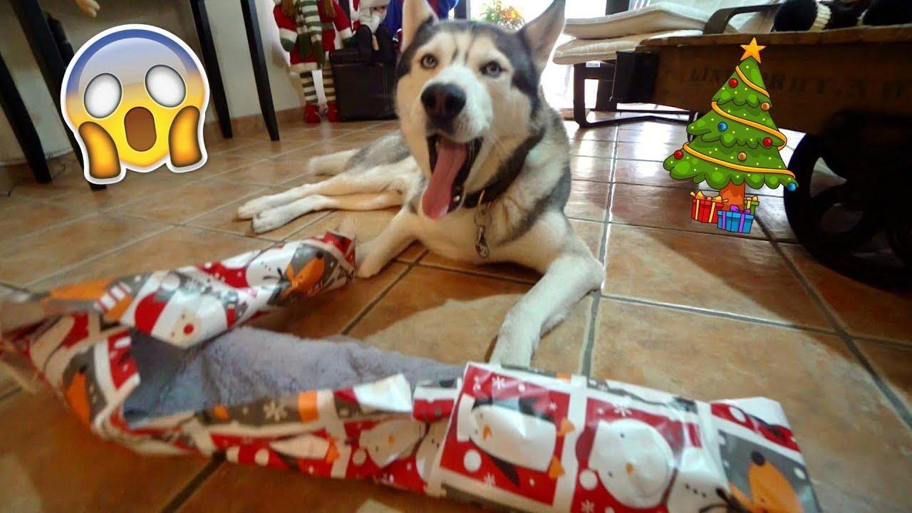 My Husky Opens His Christmas Gift!