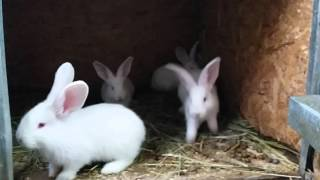 Крольчата купить кролика великана(, 2016-01-26T18:09:15.000Z)