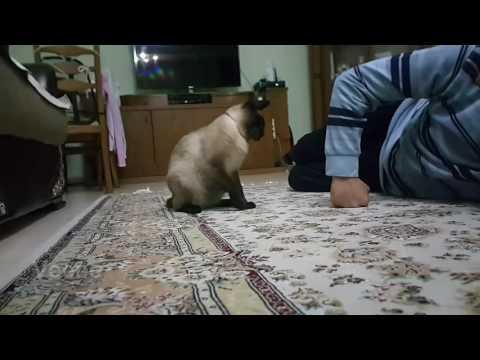 Funny Siamese Cat attack, Siyam kedisi Artistik saldırı, komik video
