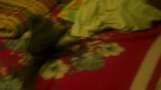 Кошачья эпилепсия