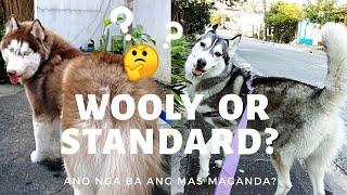 Wooly vs Standard Siberian Husky   Ano Nga Ba Ang Mas Maganda?