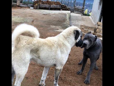 Kangal ve canecorso karsilasmasi