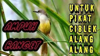 Download Mp3 Mp3 Pikat Ciblek Alang Alang