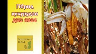 Кукуруза ДКС 4964 🌽 - описание гибрида 🌽, семена в Украине