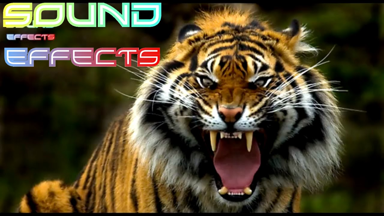 Lion Roar Sound Effect #24 - YouTube - photo#10