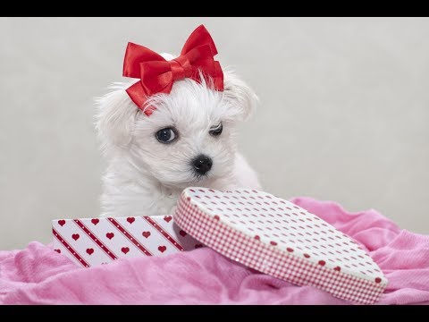 Cutest Maltese Puppies Video Compilation
