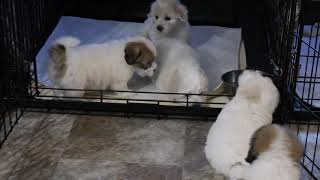 Coton Puppies For Sale - Ireland 10/19/20