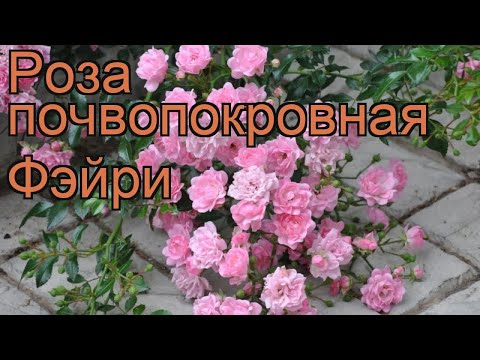 Роза почвопокровная Фэйри (rose the fairy) 🌿 роза Фэйри обзор: как сажать саженцы розы Фэйри