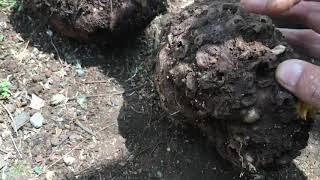 Amorphophallus || Hama penyakit pada tanaman Porang atau amorphophallus muellerii
