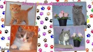 Британская кошка. Британские котята. Питомник британских кошек