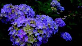 2017年本土寺の紫陽花