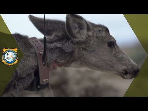 Wildlife Conservation - Deer & Elk Research in Wyoming