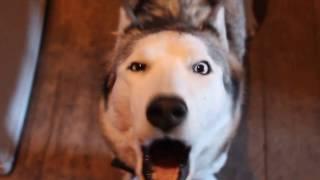 Хаски хочет гулять, умная собака, смотреть до конца