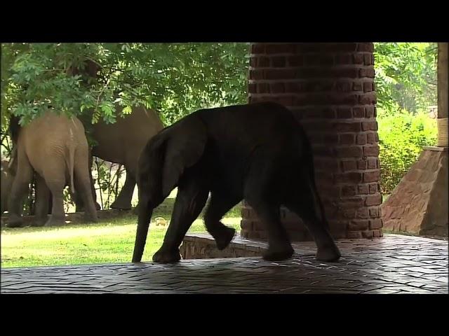 Elephants of Mfuwe Lodge - The Bushcamp Company