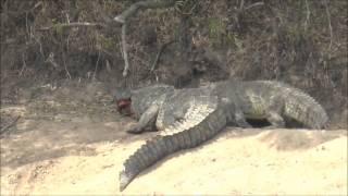 Large male crocodile try to swallow baby hippo - Maasai Mara, Kenya - (Not for the squeamish)