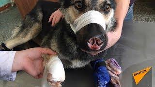 Собака, которой живодеры отрубили три лапы и хвост, нашла семью
